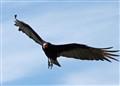 Turkey Vulture dpr