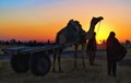 Camel cart drivers at sunrise in Rajastan, India