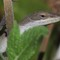 Lizard 5 093010