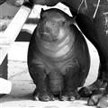 my little hippo