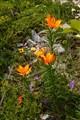 orange lilys