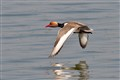 Red Crested Pochard in flight