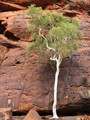 Ghost Gum - Central Australia