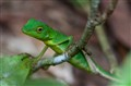 Green Lizard, Borneo