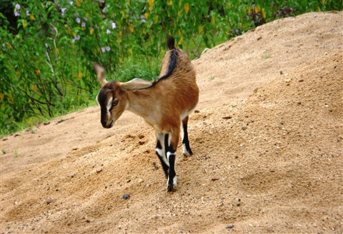 Lonely Goat