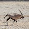 Oryx Striding his Domain in the Afternoon at Etosha National Park DEC 3 2016 NAMIBIA (1 of 1)