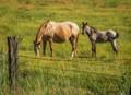 Chief Joseph's horses