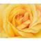 Rose29th8a