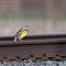 meadowlark on rail track