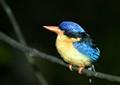 Paradise Kingfisher / Australia
