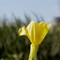 A flower on Windmill Island in Holland, Michigan