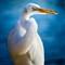 Contortionist Egret