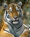 Tigress Pamela
