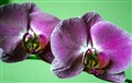 Dos Purples