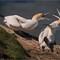Dispute (Northern Gannets)