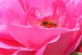 Bee n rose