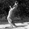 Känguru trommelt