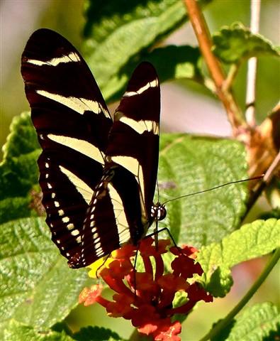 Zebra Heliconium 10061