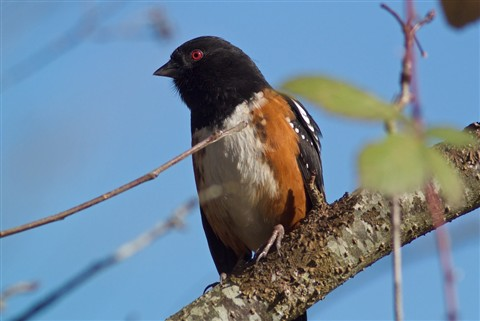 V1 Spotted Towhee