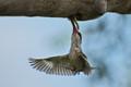 Striped kingfisher feeding