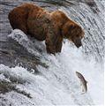 bear fishing!