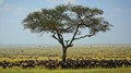 Serengeti Wildebeests and Zebras