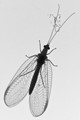Green Lacewing in Greyscale