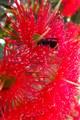 Eucalyptus Blossom & Visitor