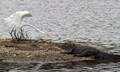 Egret and Alligator