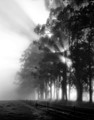 Gumtrees in the Mist