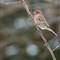 Housefinch-maleNPN