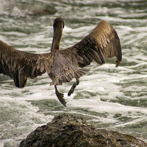 Lumbering Gull