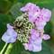 Bumblebee Sphinx Moth