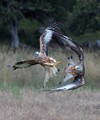 Red Kite Food Fight