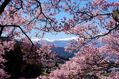 Pinky Cherry Blossom and Alps