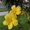 Hibiscus Tree 7_23_2012
