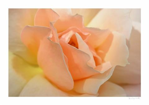 Rose25th5c
