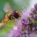 Vivid hoverfly