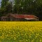 Yellow field 3