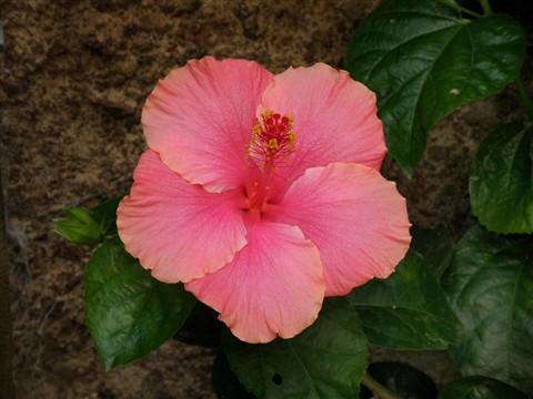 Hibiscus big