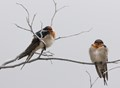 Welcome swallows on frosty morning_0543