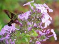 Clear Wing Hummingbird Moth