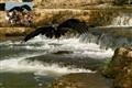 Golden Eagle fishing for salmon