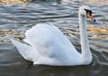 Swan on sun set