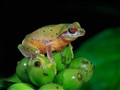 Bush Frog (Philautus glandulosis)