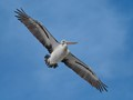 Pelican with full wing span