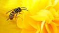 Wasp in Begonia Petals