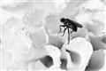BnW Macro Fly