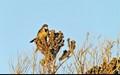 Cape Wagtail - Motacilla capensis