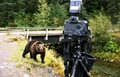 hyder grizzly at fish creek